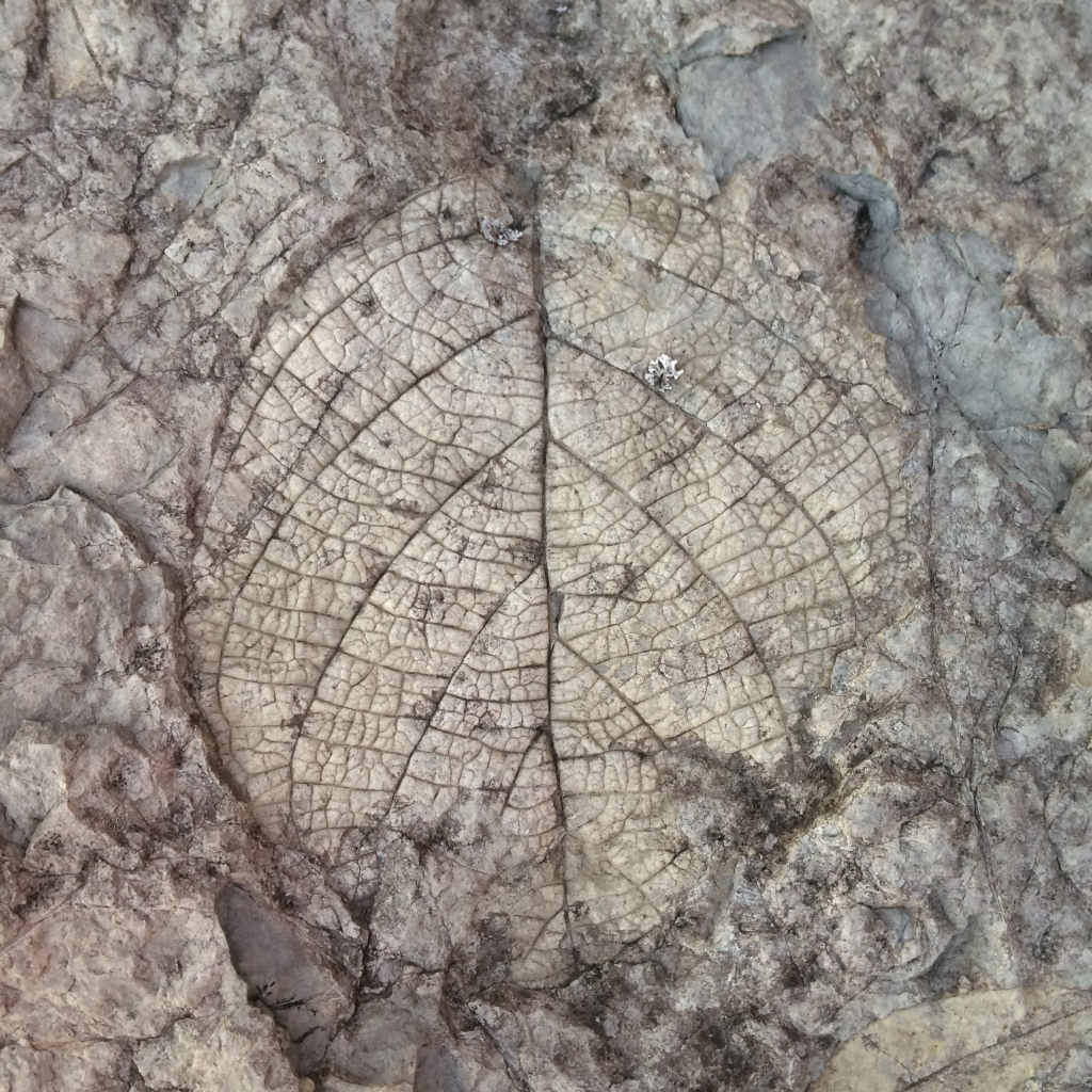 Fossil of a Leaf