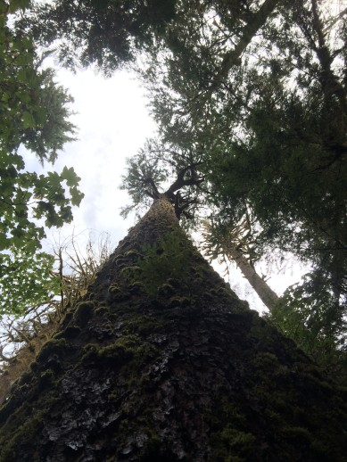Looking up the trunk of a giant redwood tree