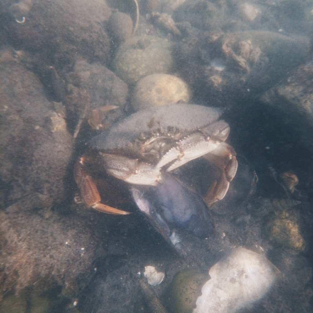 Crab eating a muscle just offshore in the bay.