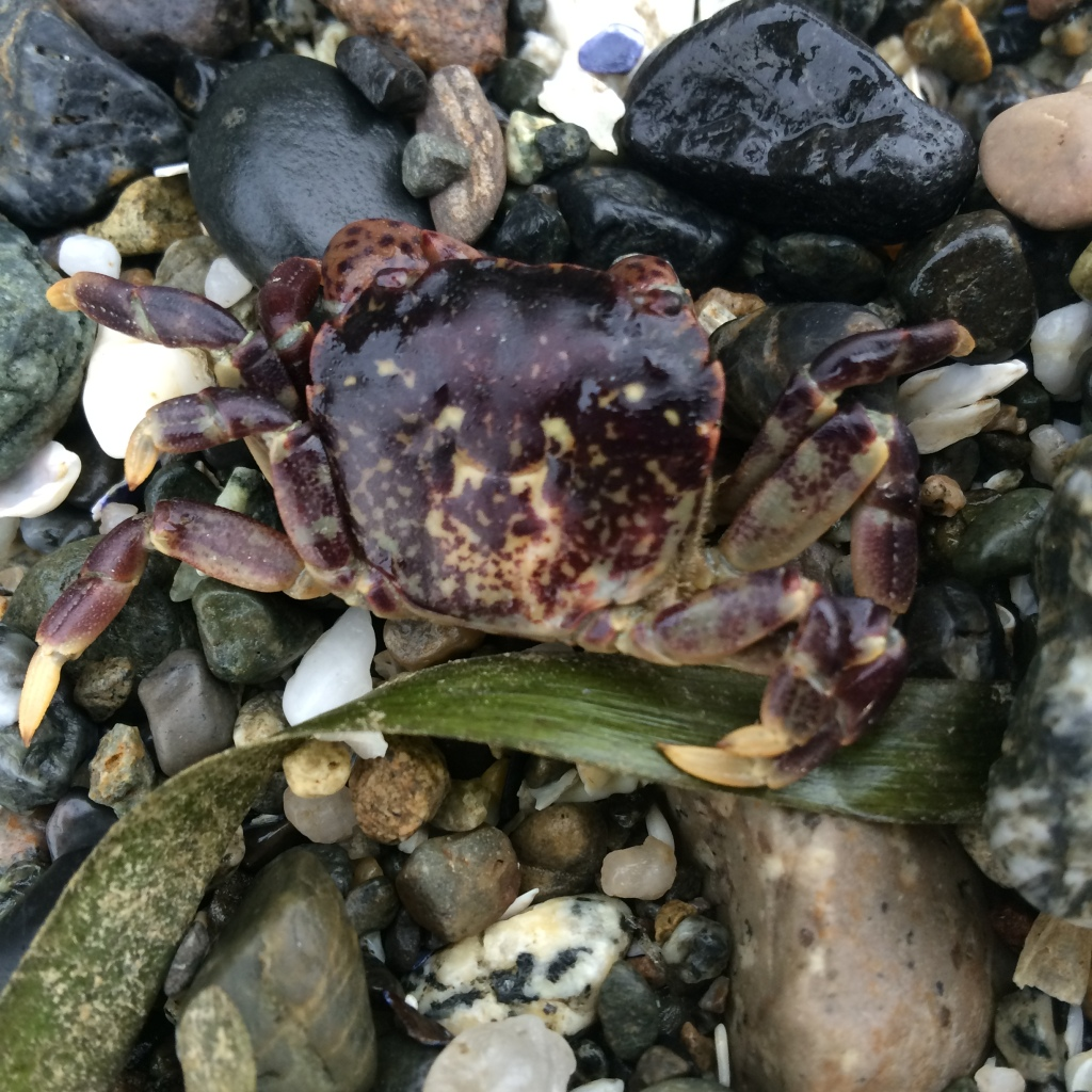 All sorts of crabs in varying colors are along the beach